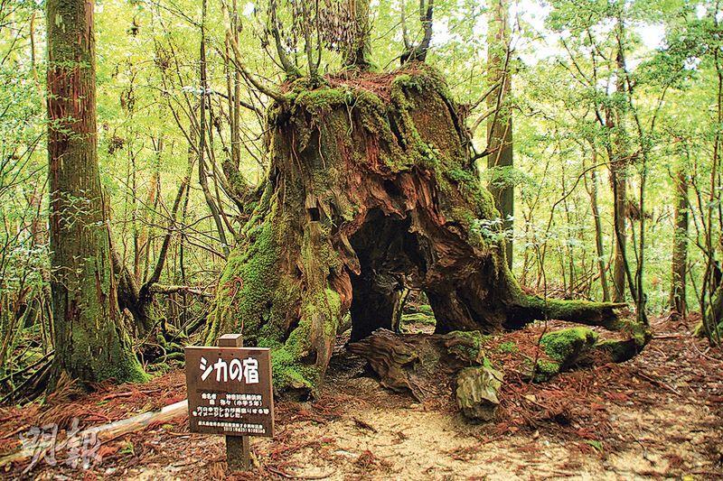 青苔森林, 苔むす森, 屋久島, 九州, 鹿兒島, 日本, 行山,