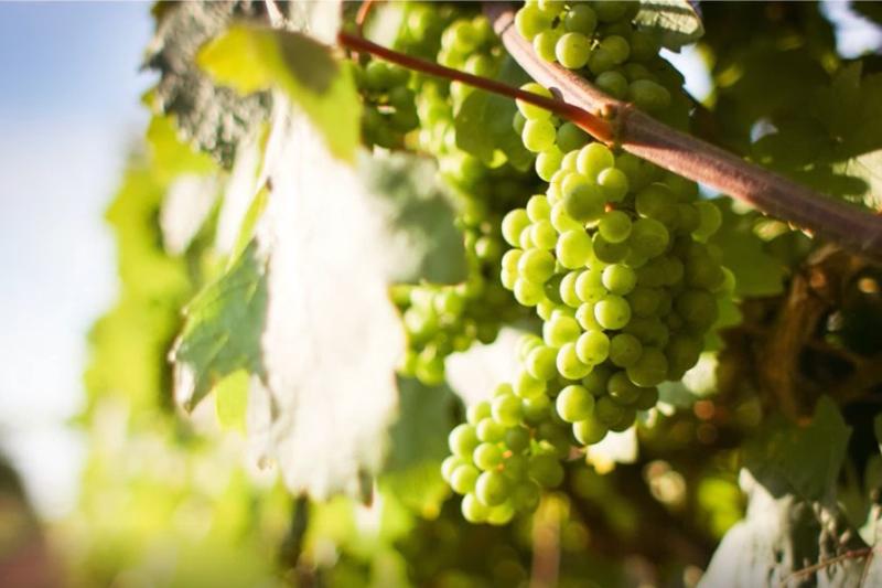 """Stacey的葡萄酒世界-常見釀酒葡萄品種 """"百變女王""""霞多麗 白酒的代名詞(上)"""